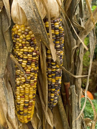 This is a close-up of some dry indian corn on the stalk. photo