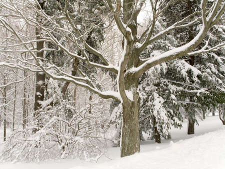 shapely: A shapely tree in woods after freshly fallen snow. Stock Photo