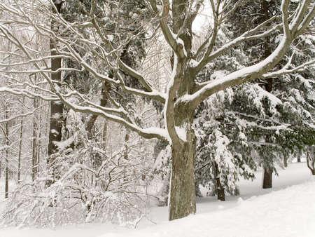 freshly fallen snow: Un albero in shapely boschi dopo appena caduta neve.  Archivio Fotografico