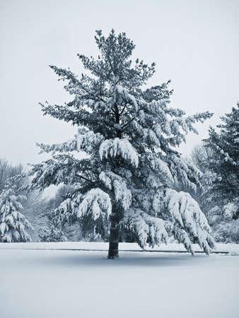Dies ist ein blau-Duo-Ton Schuss eines stattlichen Kiefern bedeckt und frisch gefallenen Schnee.