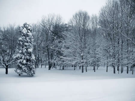 blanketed: This is a blue duo-toned photo of a forest blanketed in fresh snow. Stock Photo
