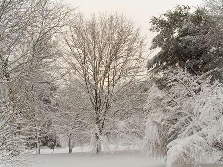 freshly fallen snow: Si tratta di un colpo di boschi coperti di neve fresca caduta.
