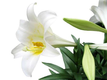Dies ist eine Ostern Lilly isoliert auf einem weißen Hintergrund.