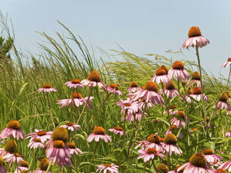 A field of cone flowers and grasses at a riverside park. photo