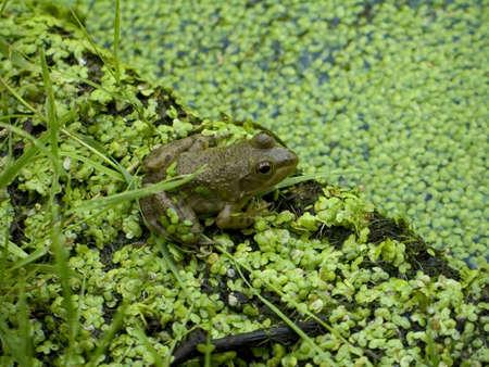 algas verdes: Una peque�a rana verde en medio de las algas de un estanque. Foto de archivo