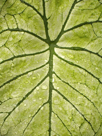 A close-up background shot  of leaf veins with raindrops on it.