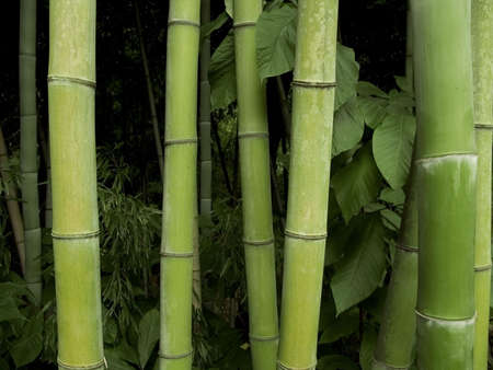 bamboo forest: A group of bamboo trees up-close. Stock Photo