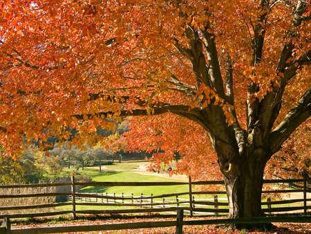 Ein schönes Rot Ahorn Herbst in voller Brillanz in einem Park, New Jersey.