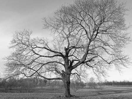 흑인과 백인으로 유명한 겨울 나무.