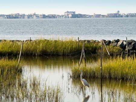 swampland: A egret in its wetlands habitat near Ocean City Maryland.