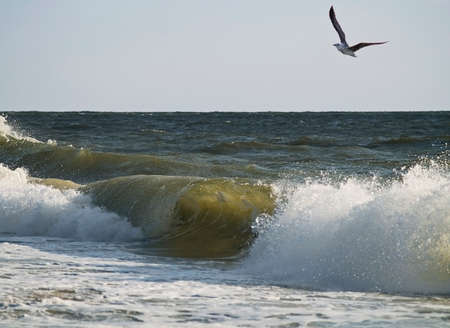 A seagull flies over a braking wave along the shoreline in Ocean City, Maryland.