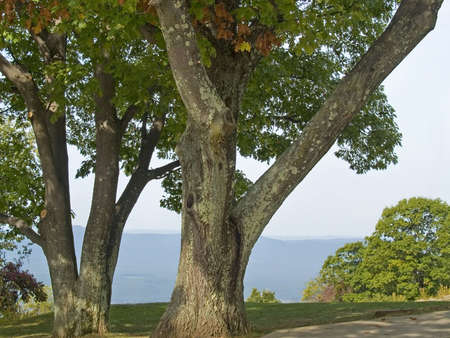 west virginia trees: A group of sycamore trees overlook the Blue Ridge Mountains along Skyline Drive in Shenandoah National Park in West Virginia. Stock Photo