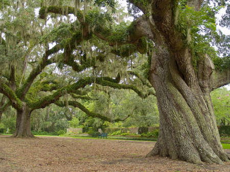 A close-up of a large live oak tree on a former plantation now called Brookgreen Gardens near Myrtle Beach in South Carolina.