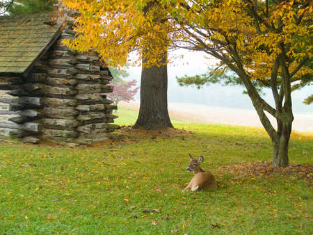 A  deer relaxes on the lawn near an old log cabin in Valley Forge Stock Photo
