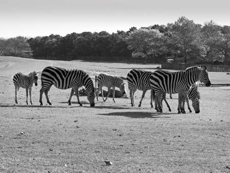 A group of zebras in black and white grazing in an open field.