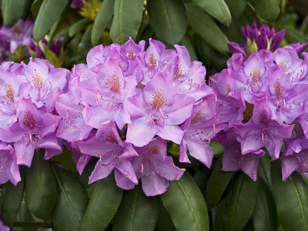 laurel mountain: Clusters of vibrant mountain laurel blooms in the Spring woods.