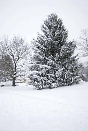 A tall pine tree during a snow storm in this Central New Jersey neighborhood.