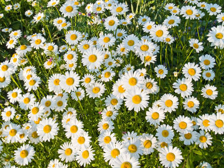 A field of wild daisies in early Spring.