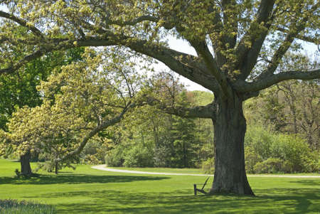 A large old oak tree, part of the beautiful landscape at The Bayard Cutting Arboretum located on Long Island in Great Meadow, NY.