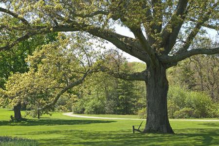arbol roble: Un gran �rbol viejo roble, parte de la belleza del paisaje en el Arboretum de corte de Bayard situado en Long Island, en Great Meadow, NY.  Foto de archivo