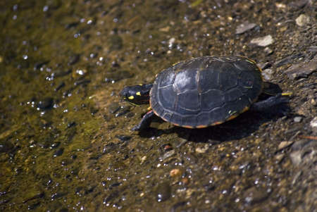 A fast moving painter turtle headed for the pond. Stock Photo