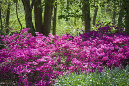azaleas: Vibrant pink azaleas in the woods are part of the landscape at The Bayard Cutting Arboretum on Long Island.