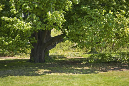 An old shady oak tree is part of the landscape at The Bayard Cutting Arboretum on Long Island.