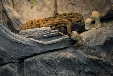 A close-up look of the eastern timber rattlesnake. Stok Fotoğraf