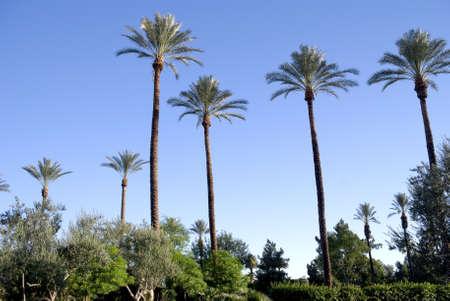 resortes: Una serie de palmeras a lo largo del paisaje en Palm Springs, California.