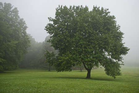 state park:  A shapely tree on a fogy Summer morning in Monmouth Battlefield State Park in New Jersey.