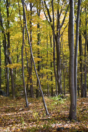appalachian mountains: An Autumn view of trees in the woods of the Appalachian Mountains in New York State.