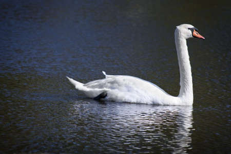 mute swan: The graceful swan on a small pond in Jackson, New Jersey.