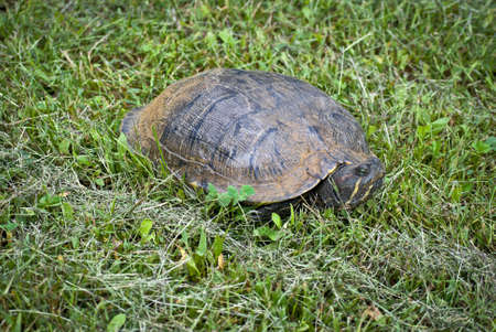 A large slider turtle stretches his neck out of the shell. Stock Photo