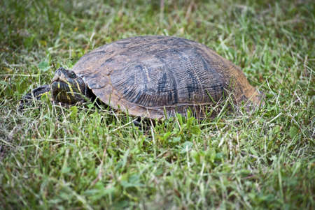 A closeup of a slider turtle in the grass.