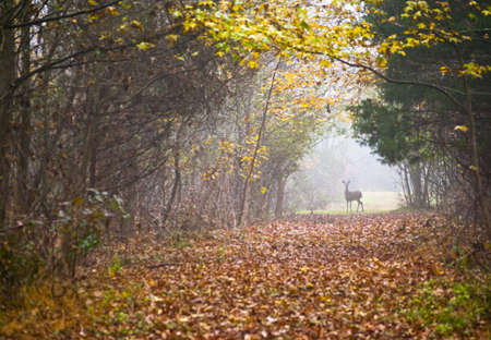 An Autumn scene with a deer at the end of a foggy trail in Central New Jersey.