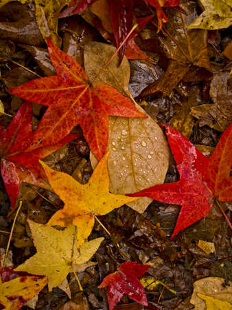 A close-up of colorful fallen leaves on the forest floor after a light rain.