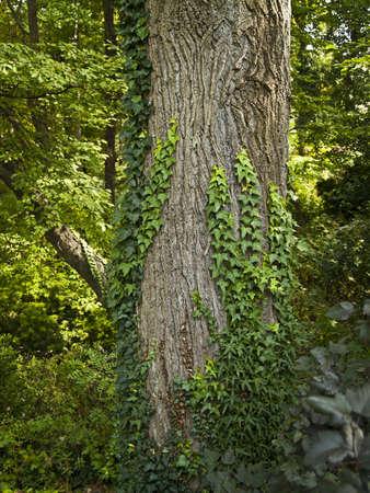 아이비 중앙 뉴저지에서이 여름 숲에서 큰 나무에 자라.