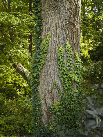 Ivy growing up on a large tree in this Summer woods in Central New Jersey. photo
