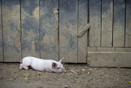 barn door: A pig resting in the barnyard in rural Central New Jersey.