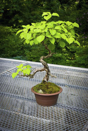 bonsai tree: A bonsai tree outdoors in a planter during late Spring.