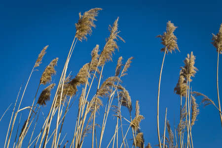 envoronment: Seaside meadow reeds against a blue background near the coast in Atlantic Highlands New Jersey