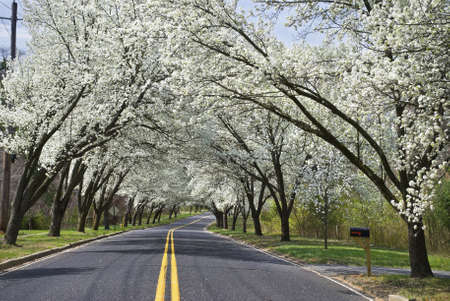 White Spring blossoms overhang this country road in Holmdel, New Jersey.