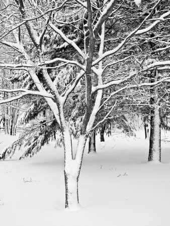 freshly fallen snow: Neve fresca su un albero d'inverno in bianco e nero.