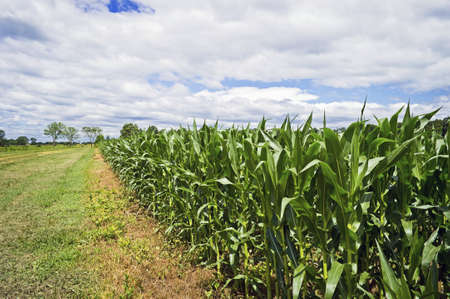 cornfield: A wide angle view of a cornfield with a dramatic sky in Central, New Jersey. Stock Photo