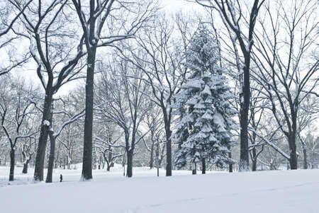 evergreen trees: Winter Scene Central Park,  A blue toned Winter view of Central Park in New York City after a fresh snowfall