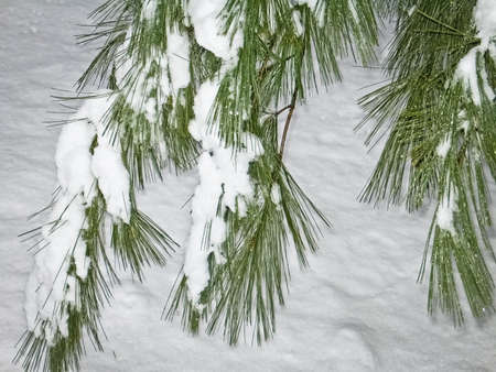 freshly fallen snow: Brillante neve verde aghi di pino e appena caduta
