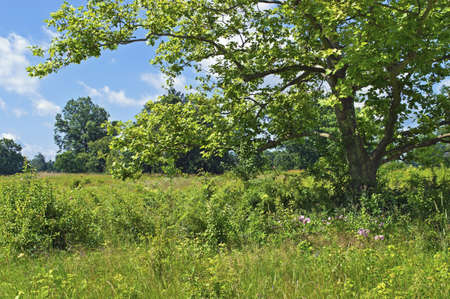 sycamore: A sycamore tree in a Summer meadow in Central New Jersey  Stock Photo