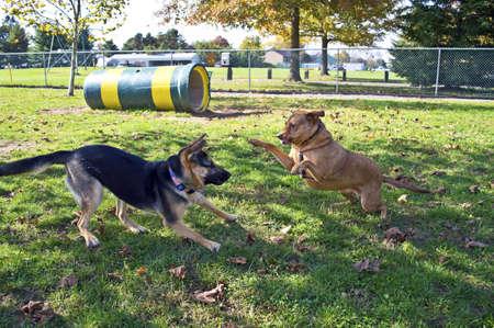 fighting dog: Un pastore tedesco e un mix Labrador a giocare nel parco cane nel centro di New Jersey