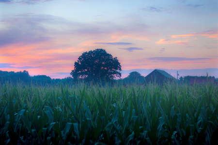 A soft focus cornfield at sunset in Manalapan New Jersey