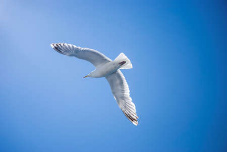 wingspan: A seagull with expanded wingspan soars against a blue sky over Cape Cod in Massachusetts  Stock Photo